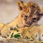 Cub Petting: Cute and Harmful...