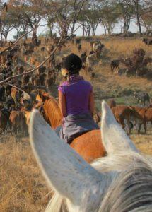 Cattle roundup in Zim