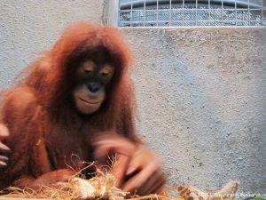 Orangutan (Borneo)