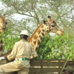 The Travelling Giraffe – Protecting a Species