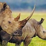 Synthetic Rhino Horn: For Conservation or For Profit?