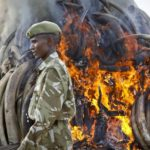 My Profits from Trading Elephant Ivory