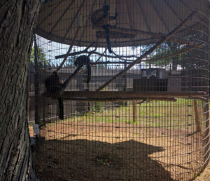 Red-ruffed lemurs (US)