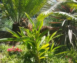 Tiger (San Diego Zoo - US)