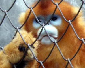 Snub-nosed monkey (China)
