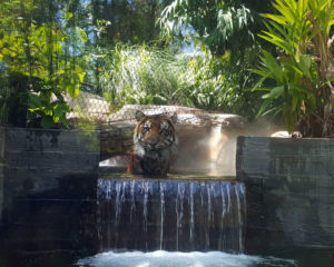 San Diego Zoo Tiger (property of Samantha Sullivan)