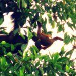 Orangutan Health Field Research in Sumatra