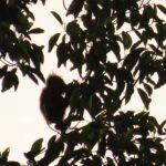 Baby Orangutan (Sabah)