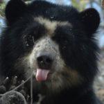 Protecting the Elusive Peruvian Bear