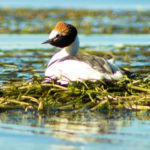 Being a Grebe Guardian in Patagonia