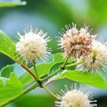 Shilpa's Wildflower Highlights » Buttonbush