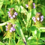 Shilpa's Wildflower Highlights » Self-heal