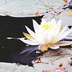 Shilpa's Wildflower Highlights » American White Waterlily