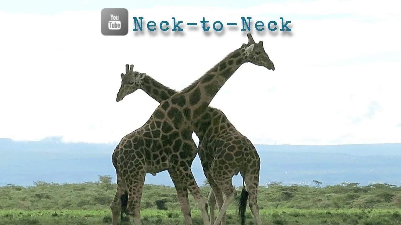 Neck-to-neck.jpg